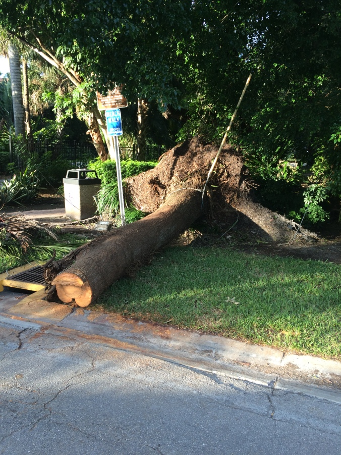 A palm that fell across Gulfshore Blvd.