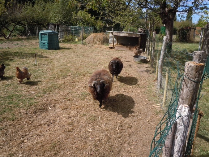 That is Pan the sheep with his brother Fangus following behind.