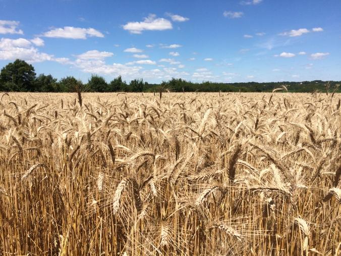 Field of wheat - Vendee, France